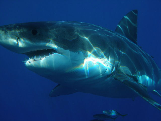 Great White Shark Cage Dive with Transfers from Cape Town